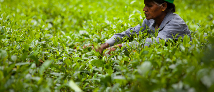 woman picking tea leaves in a plantation near Galle (Sri Lanka).