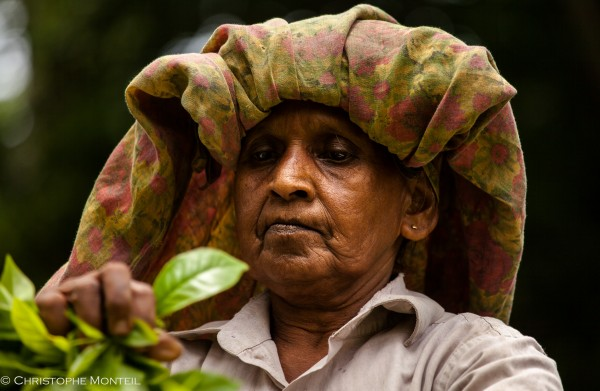 tea pickers Galle